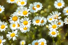 Daisies on a summer green meadow. Sunny summer day. royalty free stock image