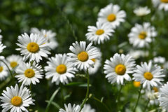 Daisies in a summer meadow. Blooming daisies against green of summer stock images