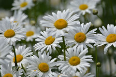 Daisies in a summer meadow. Blooming daisies against green of summer royalty free stock image