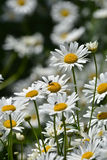 Daisies in a summer meadow. Blooming daisies against green of summer royalty free stock photos