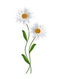 Daisies summer white flower Stock Photo