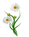 Daisies summer white flower Royalty Free Stock Image