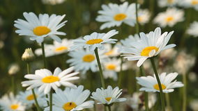 Daisies. Summers flowers.Close-up of daisies growing in a grassy meadow
