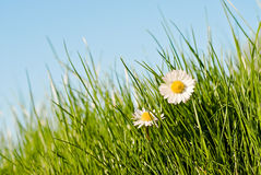 Daisies in the sun. Close up of two daisies in a sunny day royalty free stock photo