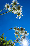 Daisies in the sun. A photo of some daisies, and a sunny sky Stock Image