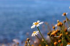 Daisies or sunflowers by La Jolla Coast, California. California daisy or sunflowers are in bloom by the coast of La Jolla. Photo taken at the coastline at La Royalty Free Stock Photo