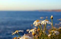 Daisies or sunflowers, La Jolla Coast, California symbol. California daisy or sunflowers are in bloom by the coast of La Jolla. Photo taken at the coastline at Stock Photos