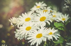 Daisies in the sunlight. Bright daisies in sunlight grow in the field Stock Photography