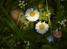 Daisies in sunlight Stock Image