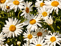 Daisies in the sunlight Stock Photos