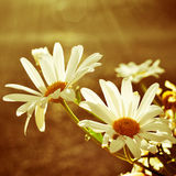 Daisies in a sunny day Royalty Free Stock Image