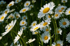 Daisies on a sunny day. In ireland Royalty Free Stock Photo