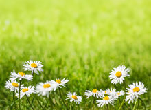 Daisies on a Sunny Lawn with Copy Space Stock Photo