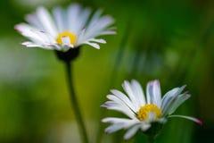 The daisies Stock Photos