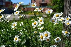 Daisies on sunny summer day. Beautiful flowers with white petals and yellow core. Nature in the city stock photos