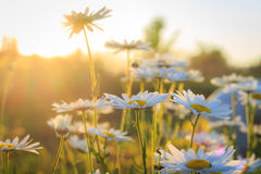 Daisies during sunset. Landscape and nature photography Royalty Free Stock Images