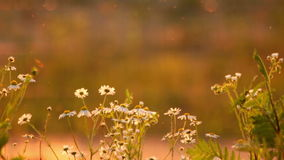 Daisies at sunset stock video footage