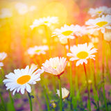 Daisies and sunshine background Royalty Free Stock Images