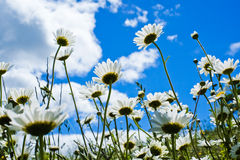 Daisies in sunshine in spring Stock Image