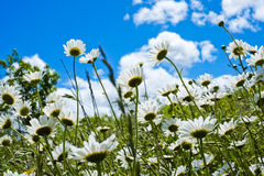 Daisies in sunshine in spring in Val Trebbia, Italy Royalty Free Stock Photo