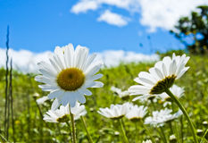 Daisies in sunshine in spring in Val Trebbia, Italy Stock Photography