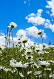 Daisies in sunshine in spring in Val Trebbia, Italy Royalty Free Stock Image