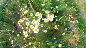 Daisies sway in the wind. Field of beautiful summer camomile closeup Wide angle top view.  stock video footage