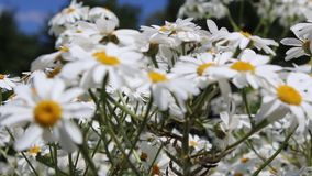 Daisies swaying in the wind Royalty Free Stock Photos