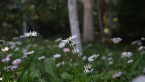 Daisies swaying in the wind. Against the background of garden trees in the farm stock video footage