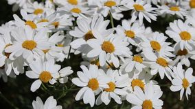 Daisies swaying in the wind Stock Images
