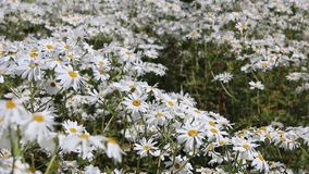 Daisies swaying in the wind Royalty Free Stock Image