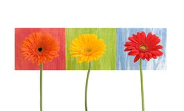 Daisies - three - on colored squares. Three gerber daisies - on colored squares - isolated on white Stock Photo