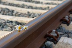 Daisies on a train rail. In the spring stock images