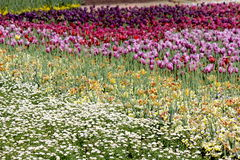 Daisies with Tulips 2 Royalty Free Stock Photos