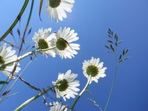 Daisies under the blue sky. Some Daisies under the blue sky stock photos