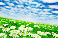 Daisies under the clouds Royalty Free Stock Photos