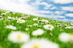 Daisies under the sky Royalty Free Stock Image