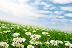 Daisies under the sky. Field of daisies with clouds on the sky Royalty Free Stock Photography