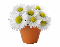 Daisies in vase Royalty Free Stock Photo
