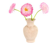 Daisies in a vase isolated Stock Images