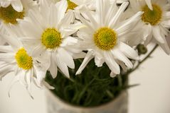 Daisies in a vase. On a white background Stock Photography
