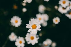 Daisies vintage background. Closeup of daisy flower in vintage style. Somber daisy flowers. Vintage flower texture and background. For design. Chamomile flower royalty free stock images