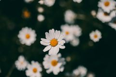 Daisies vintage background. Closeup of daisy flower in vintage style. Somber daisy flowers. Vintage flower texture and background. For design. Chamomile flower Stock Image