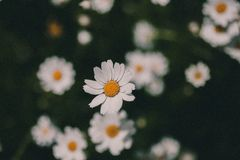 Daisies vintage background. Closeup of daisy flower in vintage style. Somber daisy flowers. Vintage flower texture and background. For design. Chamomile flower Royalty Free Stock Photos