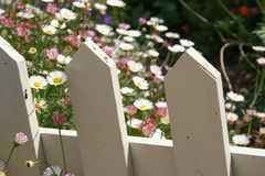 Daisies with vintage white picket fence. White and pink daisies poke through a white picket fence, rural farm, Australia Royalty Free Stock Image