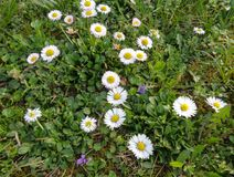 Daisies and violets close up in the grass. Daisie - Bellis perennis is native to western, central and northern Europe widely naturalised in most temperate Royalty Free Stock Photos