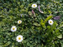 Daisies and violets close up in the grass. Daisie - Bellis perennis is native to western, central and northern Europe widely naturalised in most temperate Stock Photography