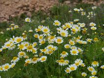 Daisies in the Volcanic fields of Fuerteventura Royalty Free Stock Images