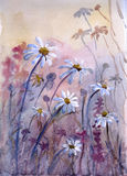 Daisies. Watercolor. Garden with daisies on sunrise. Watercolor Royalty Free Stock Photo