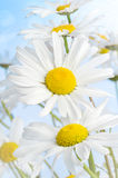 Daisies Stock Photo